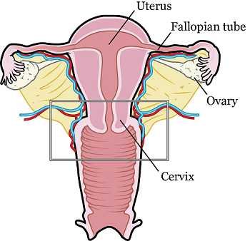 Figure 1. The female reproductive system. The area in the rectangle is what may be removed during your trachelectomy.