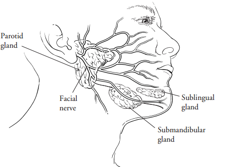 Your salivary glands
