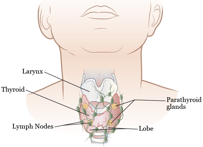 Figure 1. Your thyroid gland