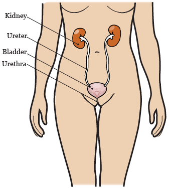 Figure 1. Your urinary system