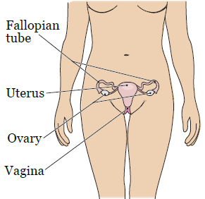 Figure 3. Your gynecologic system