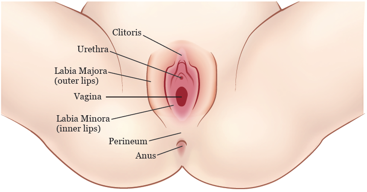 Figure 1. Your vulva
