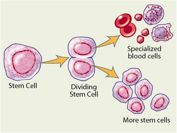 Figure 1. How your stem cells divide