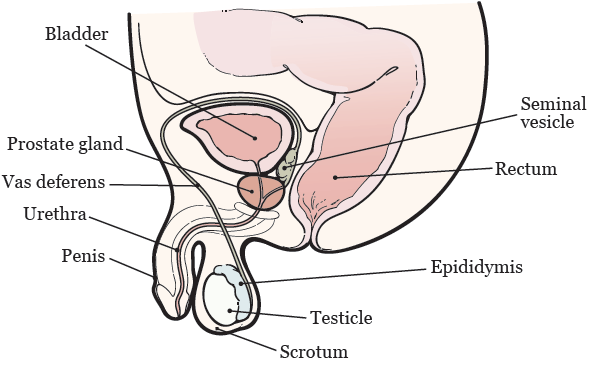 Figure 1. Male reproductive system