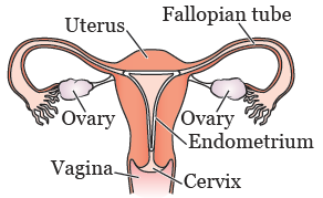 Figure 1. Female reproductive system