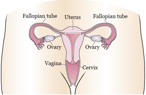 Figure 1.The female reproductive system (front view)