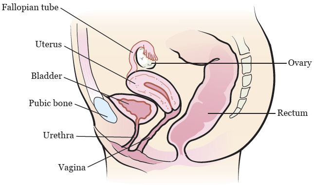 Figure 2. The female reproductive system (side view)
