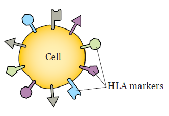 Figure 1. HLA markers