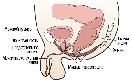 Рисунок 1. Мышцы тазового дна