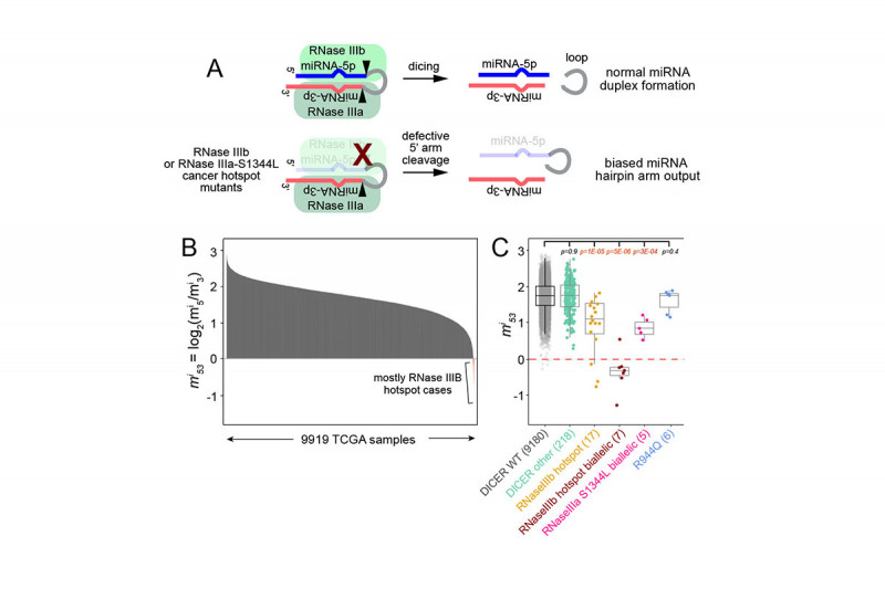 Molecular genetic analysis of cancer hotspot mutations in core microRNA machinery.
