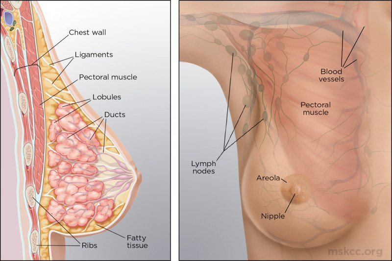 What does the inside of the breast look like? This illustration shows the makeup of breast anatomy both inside and outside.