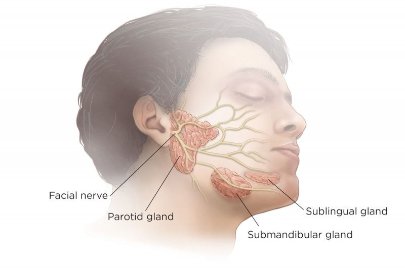 Salivary Glands Anatomy Memorial Sloan Kettering Cancer Center