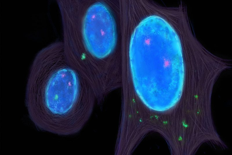 Illustration of cells with blue nuclei that have green DNA bits floating in the cytoplasm