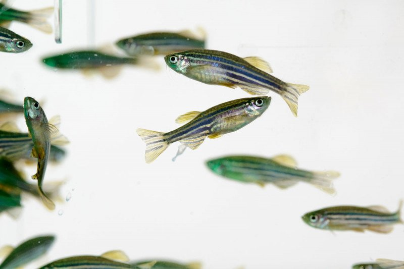 Several zebrafish swimming in a tank