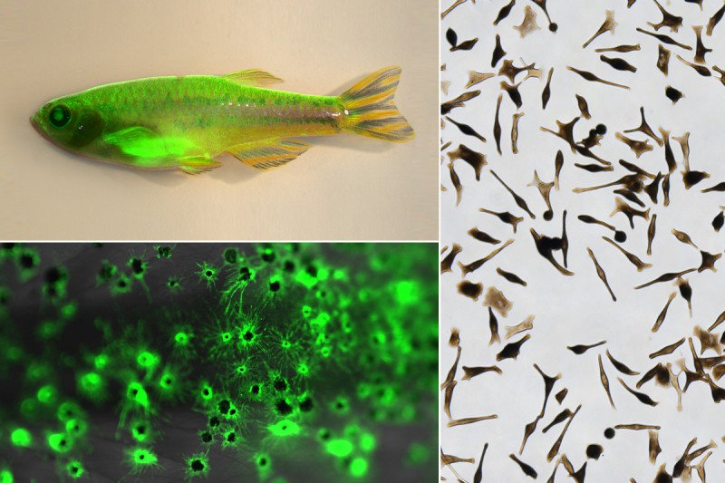 A collage of photos showing a zebrafish with GFP-labeled melanocytes, magnified GFP-labeled melanocytes, and hPSC-derived melanocytes growing in a dish.