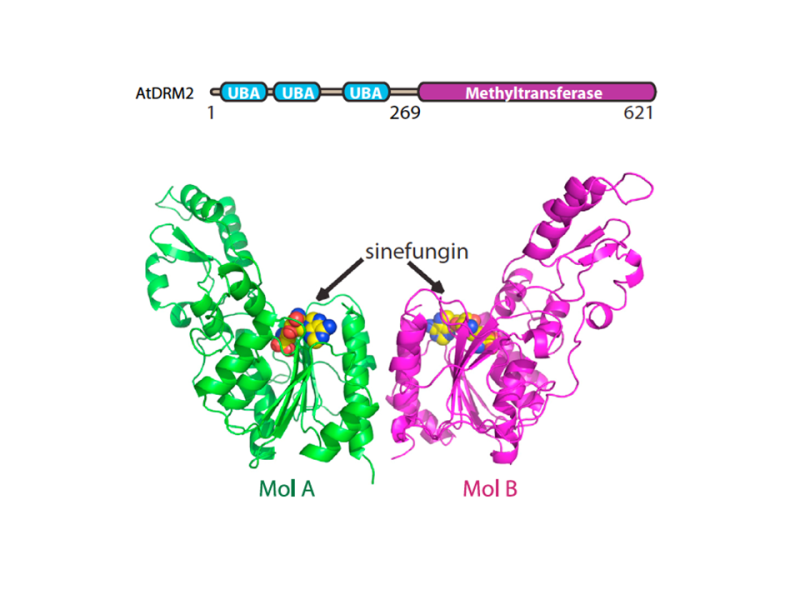 Molecular mechanism of action of plant DRM de novo DNA methyltransferases