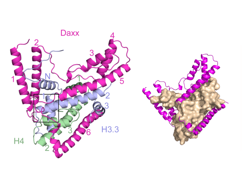 DAXX Envelops a Histone H3.3-H4 Dimer for H3.3-Specific Recognition