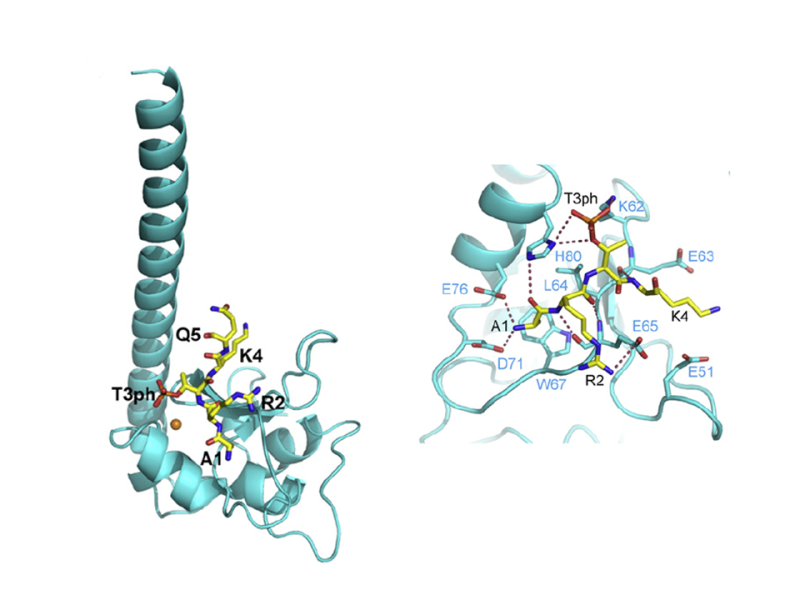 Recognition of H3T3ph and Smac/DIABLO N-terminal Peptides by Human Survivin
