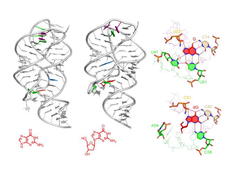 Structural Principles of Nucleoside Selectivity in a 2'-Deoxyguanosine Riboswitch