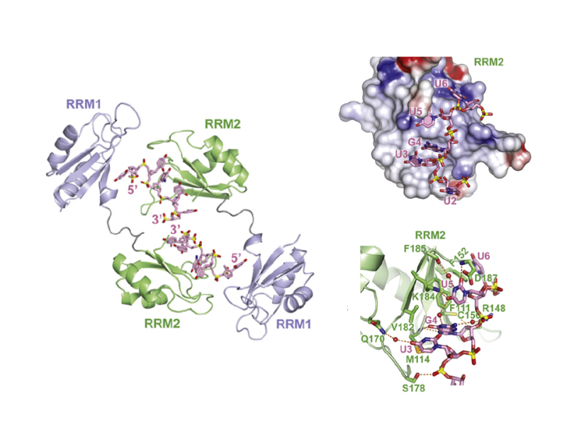 RNA Recognition by the Alternate-Splicing Regulator CUG Binding Protein 1