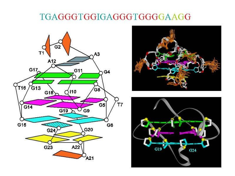 G-Quadruplexes formed by c-myc Oncogenic Promotor Sequences