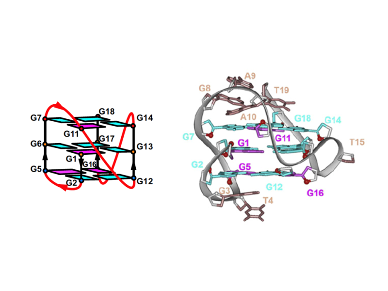 Four-Repeat Human  Intronic G-Quadruplex in K+ Solution