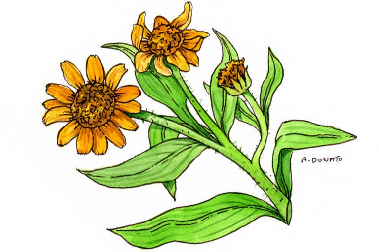 arnica | memorial sloan kettering cancer center, Skeleton