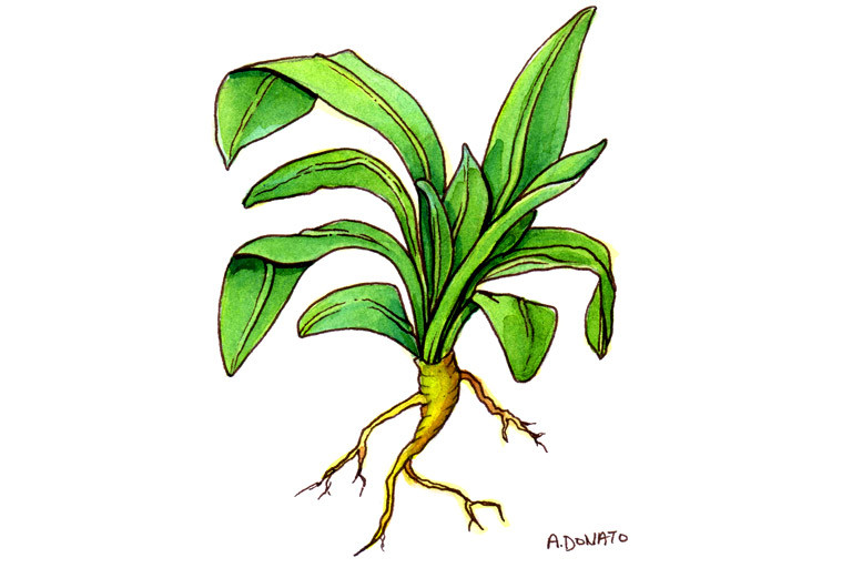 Isatis Root