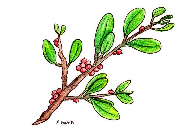 Mistletoe (European)