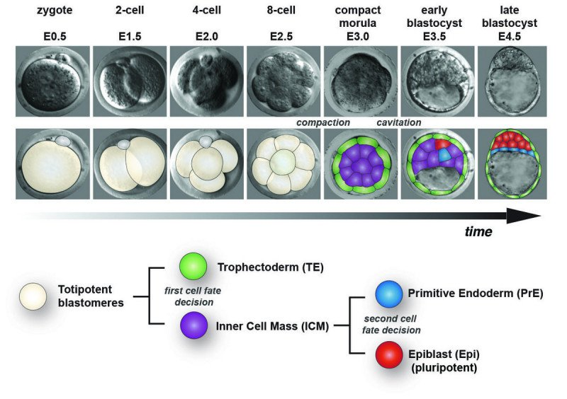 Formation of the blastocyst during early mammalian embryonic development.
