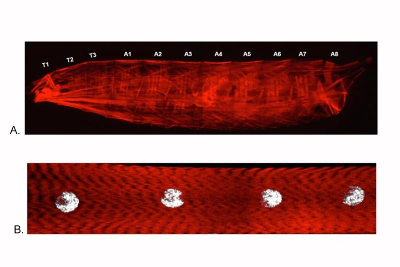 Drosophila Larval musculature