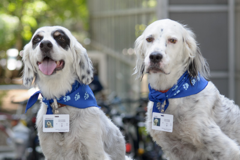 Pictured: English setters Barkley and Jake