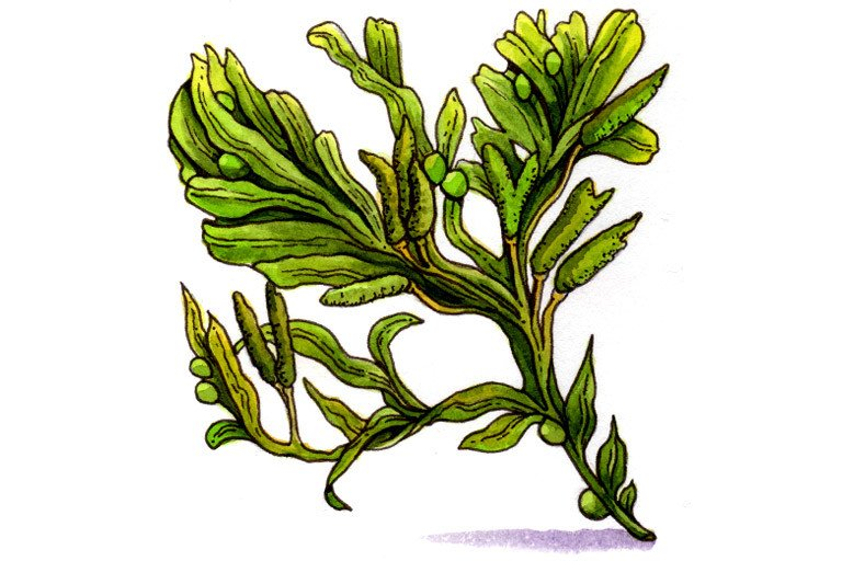 Bladder wrack