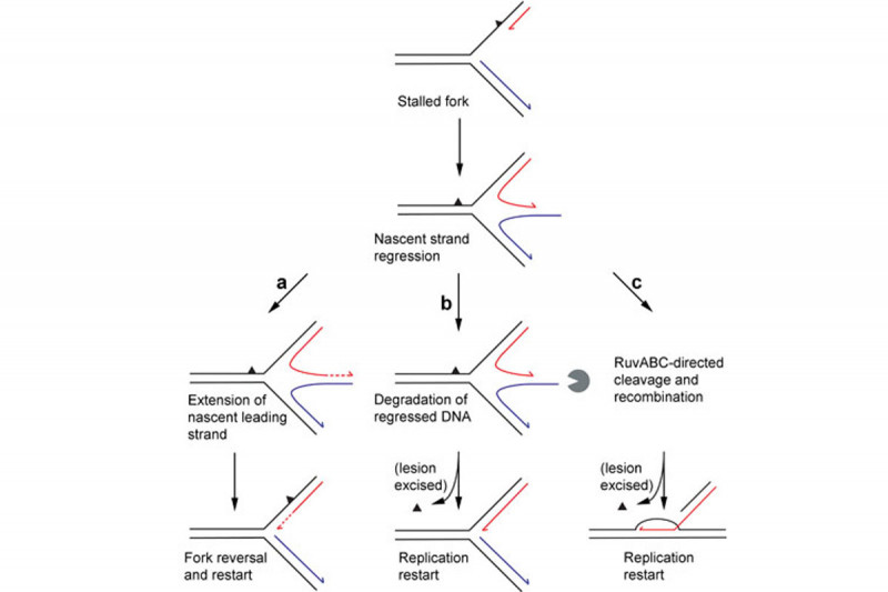Figure 1: Recombination-Dependent Replication and Direct Restart Mechanisms of Reactivating Forks Stalled by Leading-Strand-Specific Lesions