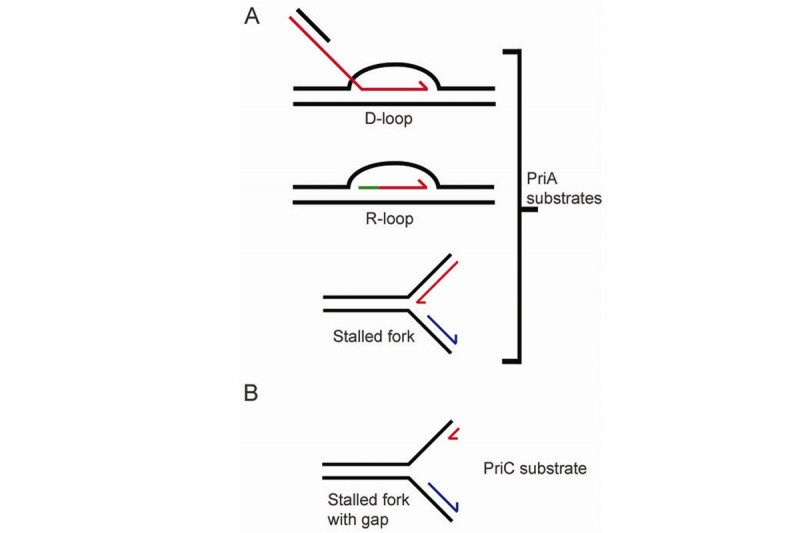 Figure 2: PriA and PriC Recognize Different Structures for Replication Restart
