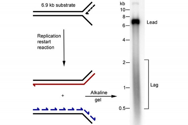 Figure 3: A Template for Reconstitution of Replication Restart at a Stalled Replication Fork