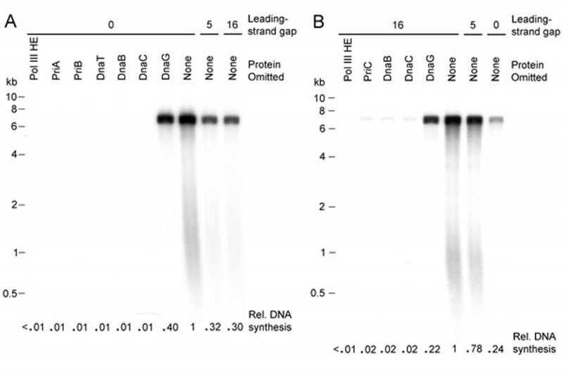 Figure 4: Leading-Strand Gaps Differentially Affect Replication Restart