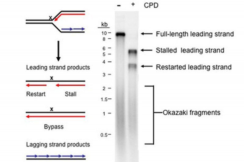 Figure 8: Replisome Stalling and Restart on a DNA Template Carrying a Cyclopyrimidine Dimer in the Leading-Strand Template