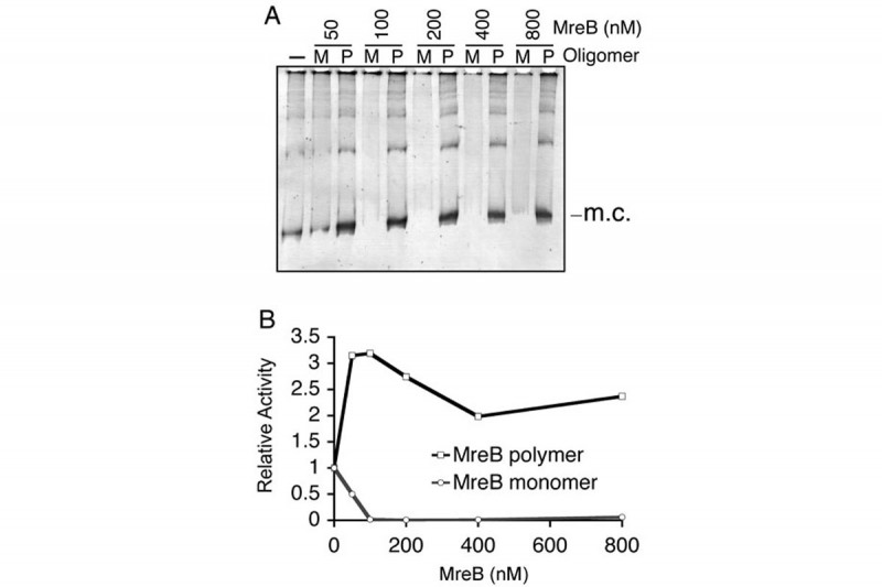 Figure 11: The Oligomeric State of MreB Determines its Effect on Topo IV Decatenation Activity