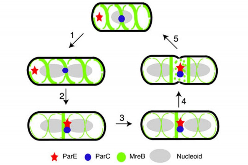Figure 12: Interaction Between MreB and Topo IV May Help Coordinate Late Cell Cycle Events