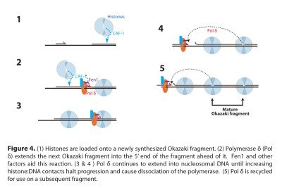 Figure 4: Model for Okazaki fragment processing