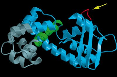 "The ""general acid loop"" of vaccinia topoisomerase is colored red and denoted by the arrow."