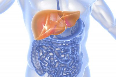 Illustration of liver inside human torso with other organs (intestines) also visible.