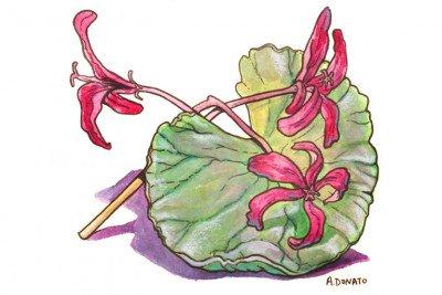 Pelargonium sidoides