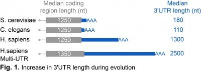 Increase in 3'UTR length during evolution