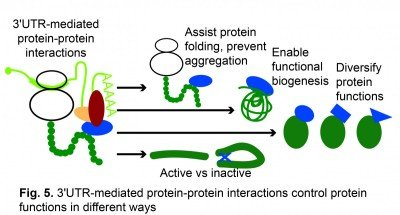 3'UTR-mediated protein-protein interactions control protein functions in different ways