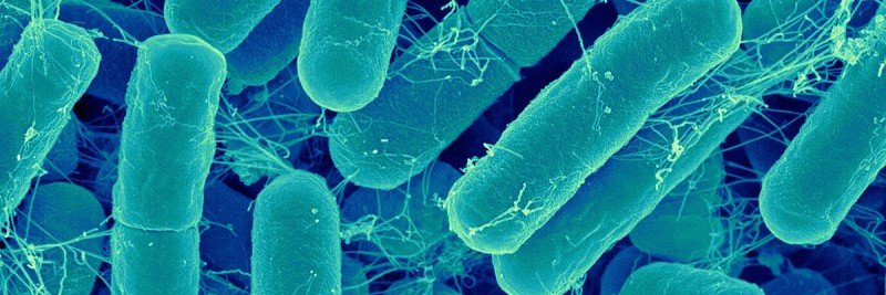 Bacteroides bacteria under the microscope
